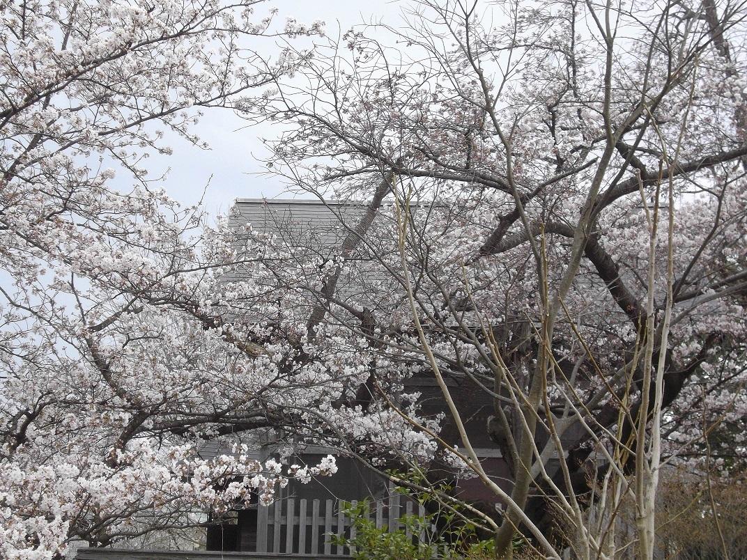 八幡神社の桜2017年4月15日
