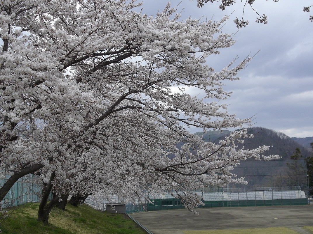 飯坂球場の桜