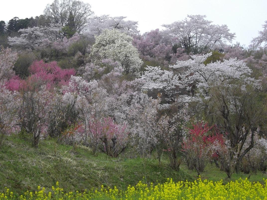 見事な花見山公園