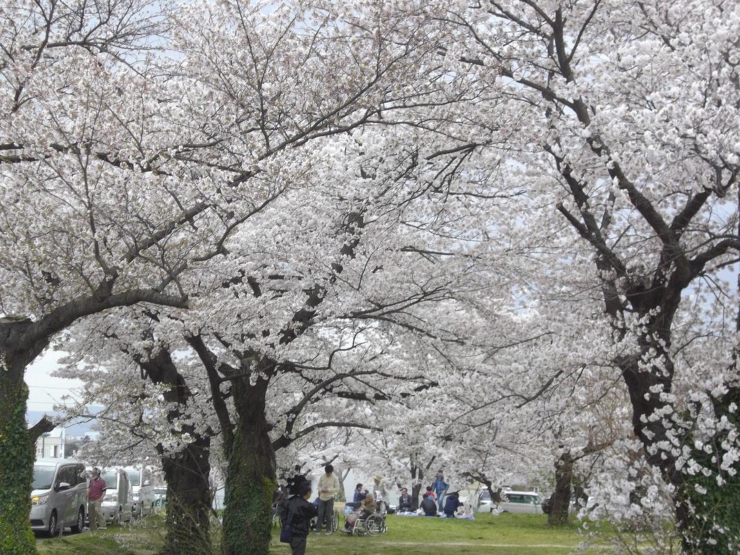 乙和公園の桜
